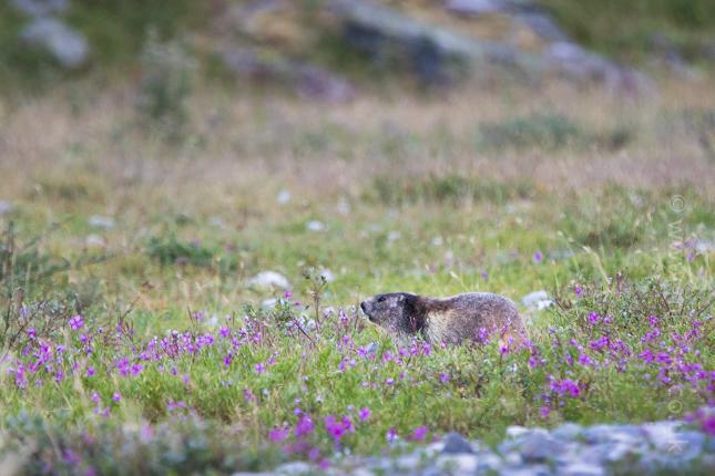 Marmotte-2.jpg