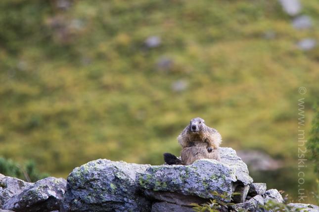 Marmotte-5.jpg