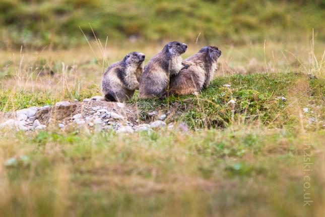 Marmotte-6.jpg