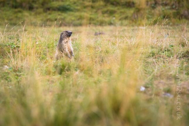 Marmotte-7.jpg