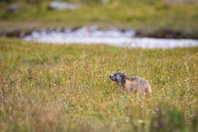 Marmotte-8.jpg
