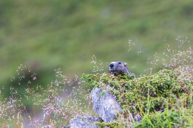 Marmotte-1.jpg