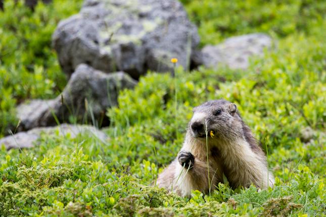 Munching Marmotte