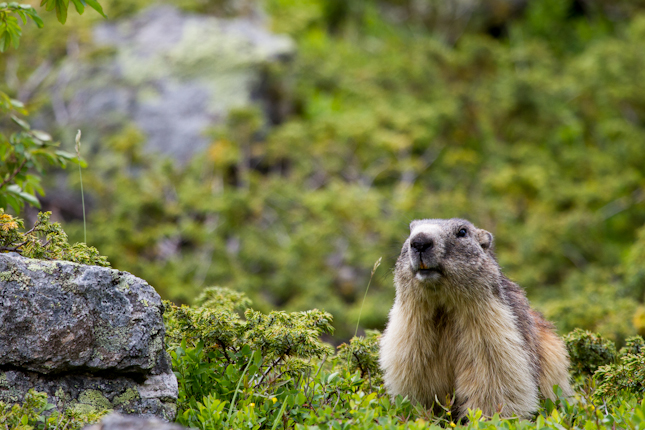 Marmotte on the lookout