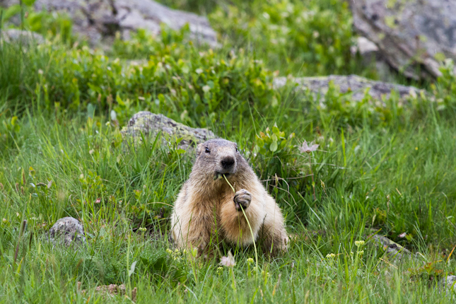 Marmotte still munching