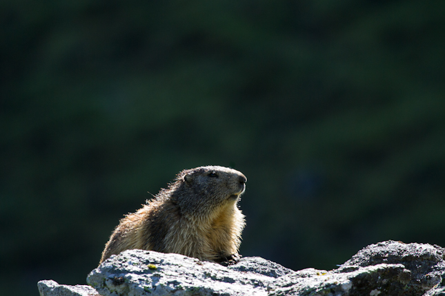 Marmotte chilling on a rock