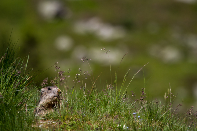 Peek a boo marmotte
